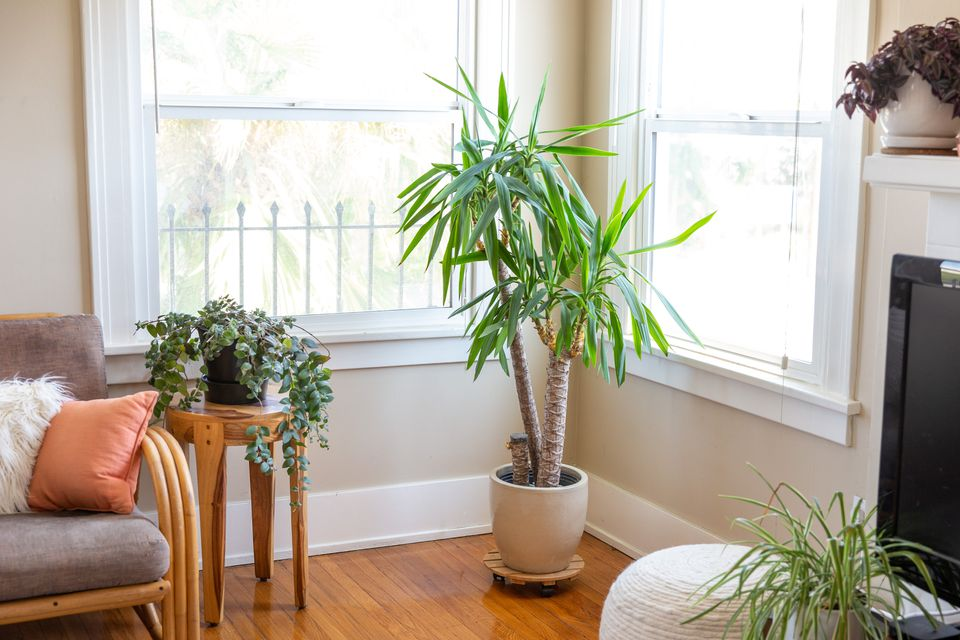 yucca tree in a living room