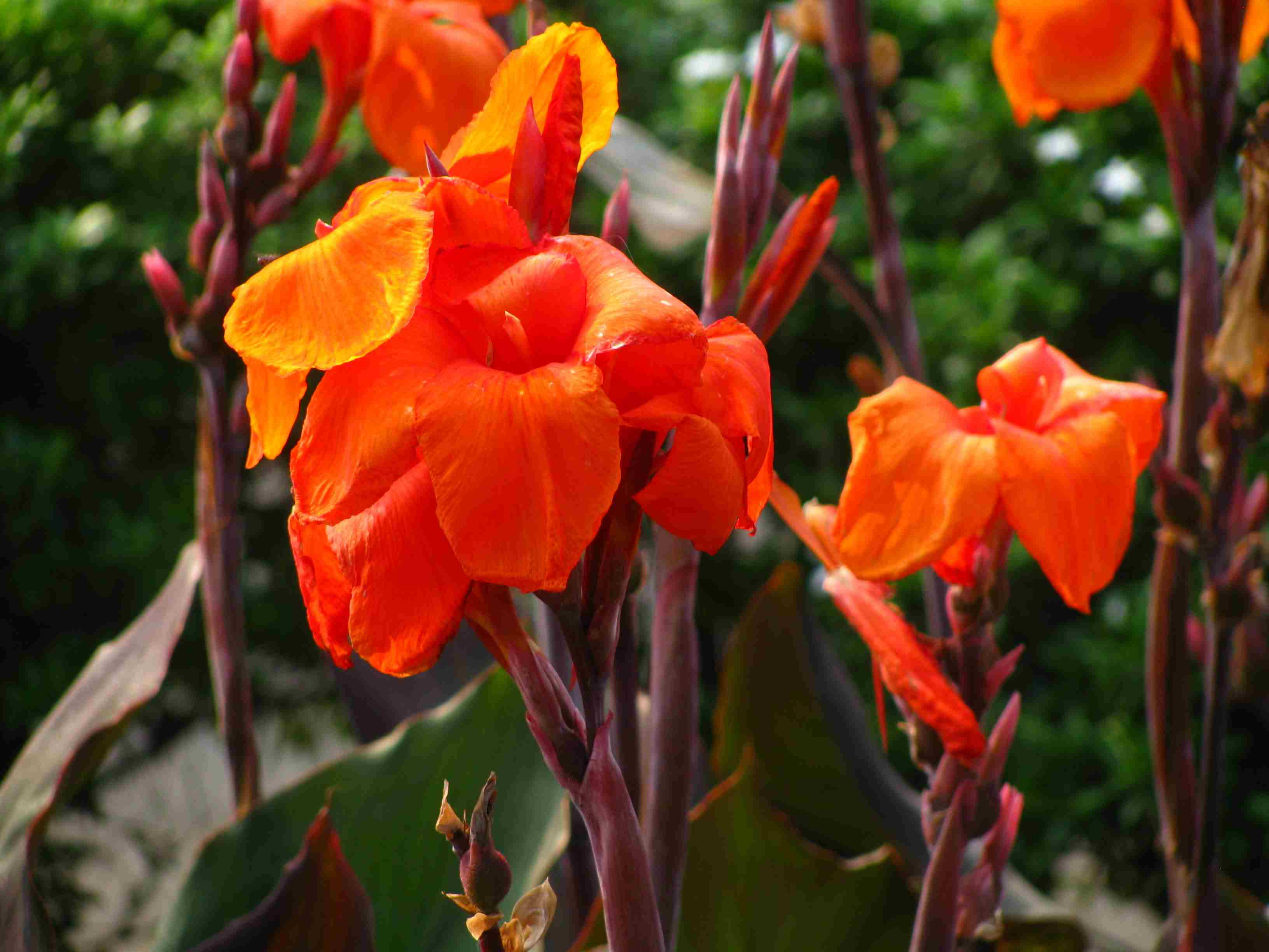 Canna Lilies Blooming In Park