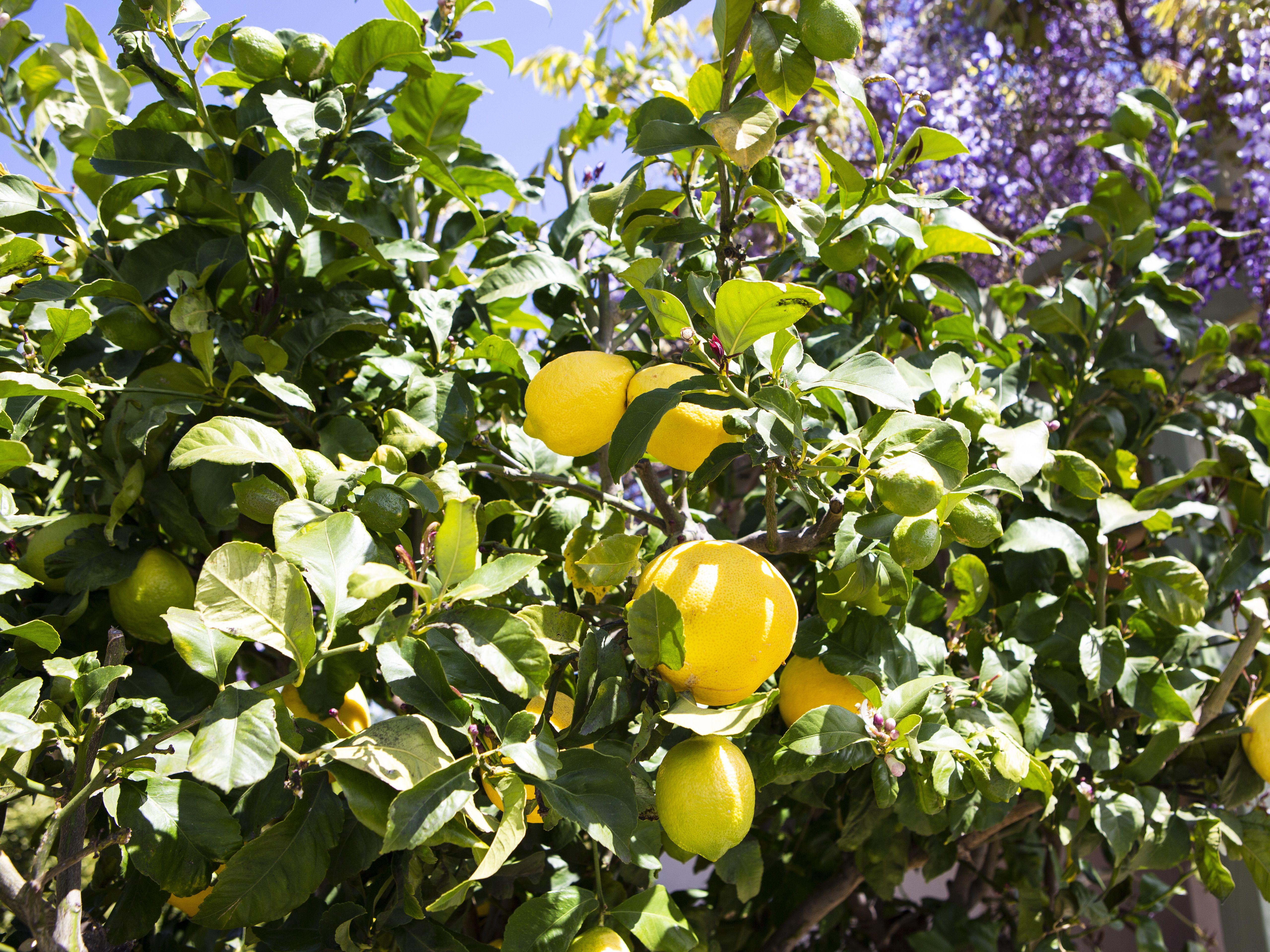 How To Grow Eureka Lemon Trees