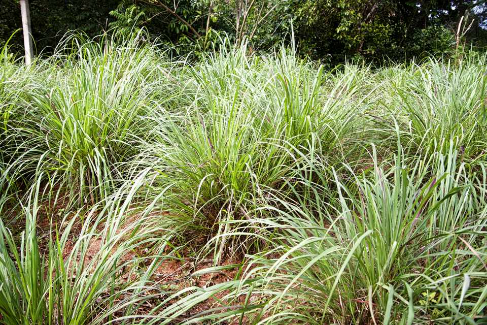 How To Grow And Care For Lemongrass