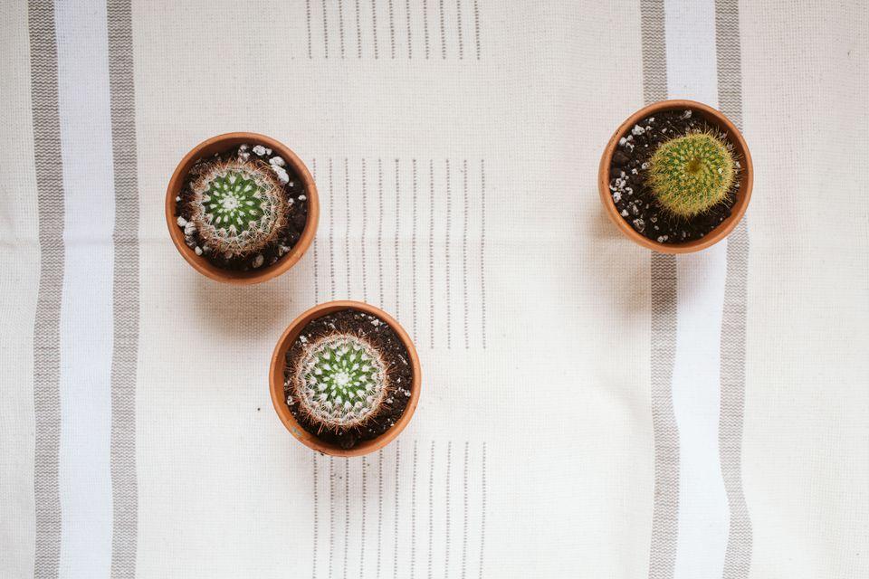 a cluster of mini cacti
