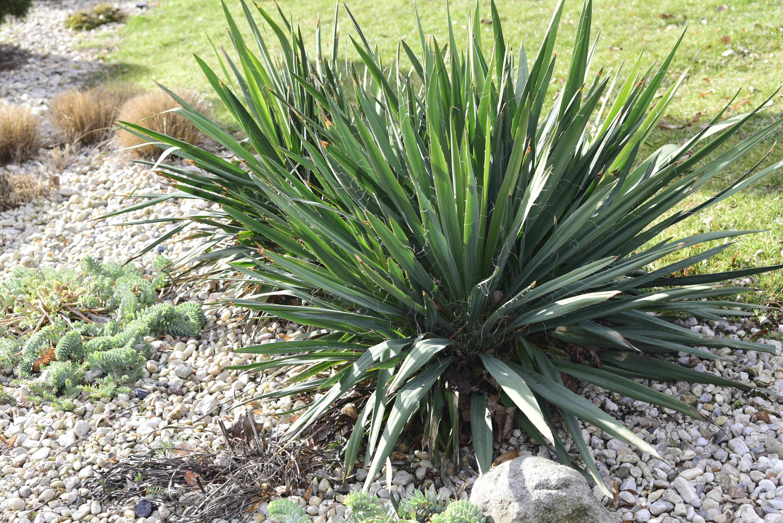 Yucca plants on gravel