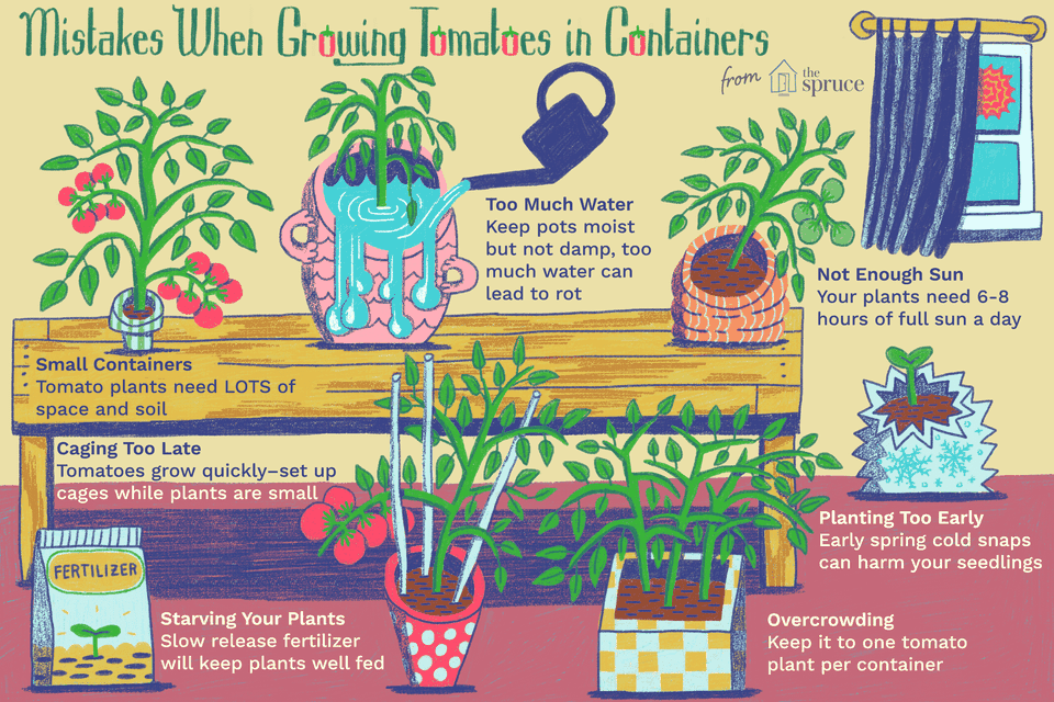 Illustration of mistakes when growing tomatoes in containers