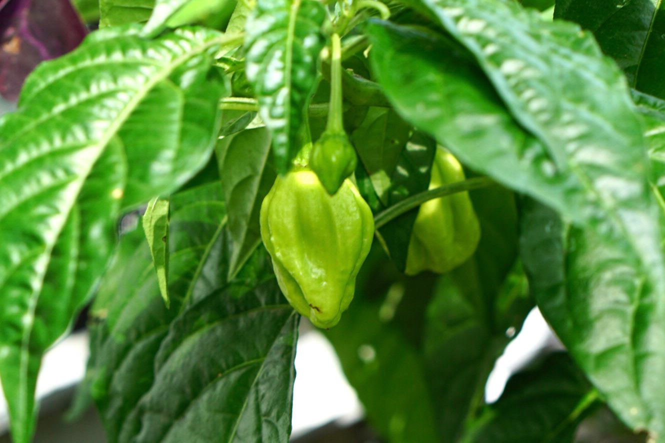 Ghost pepper plant with small green pepper