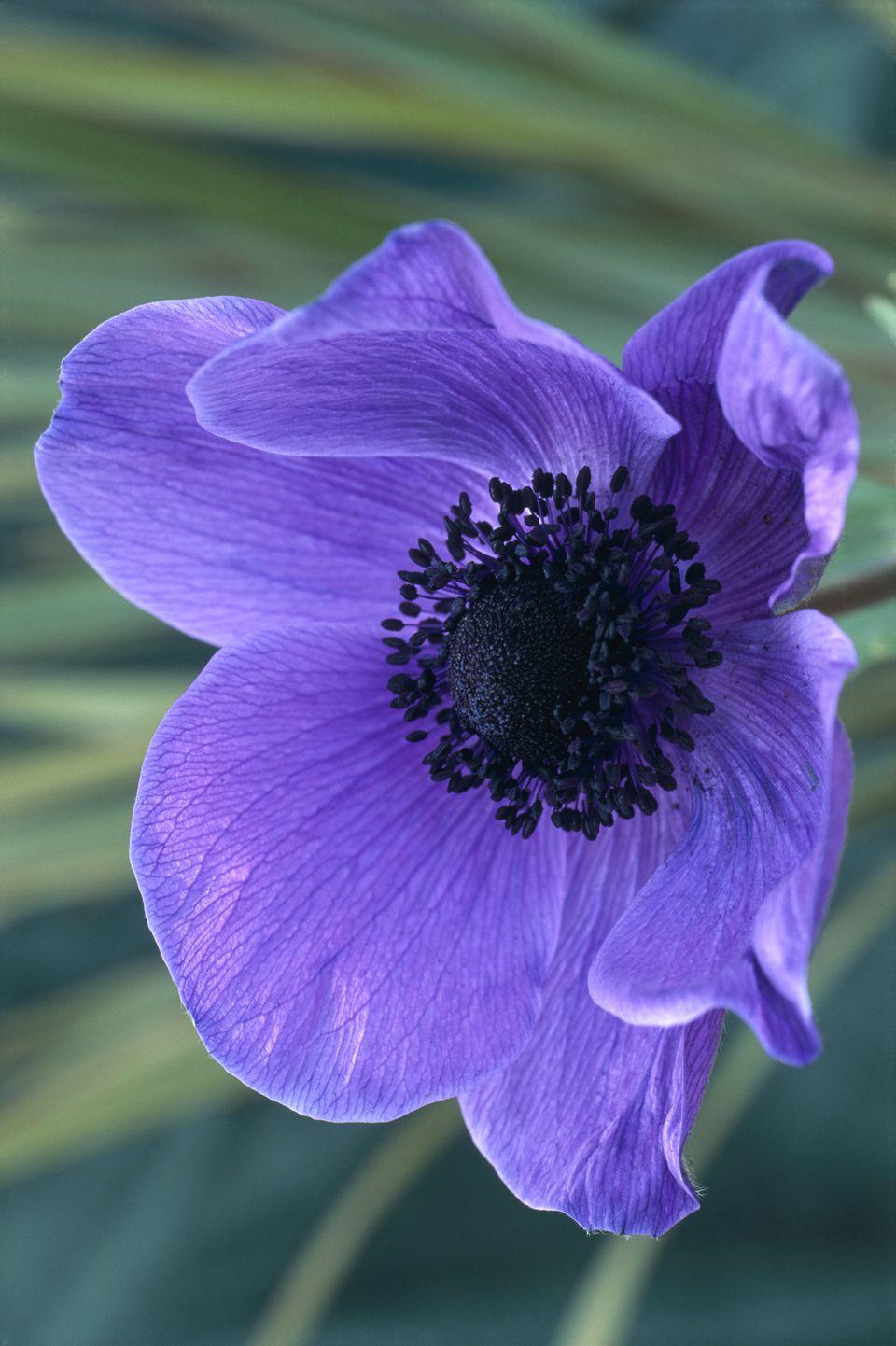Ananomie Videos best anemone flower varieties
