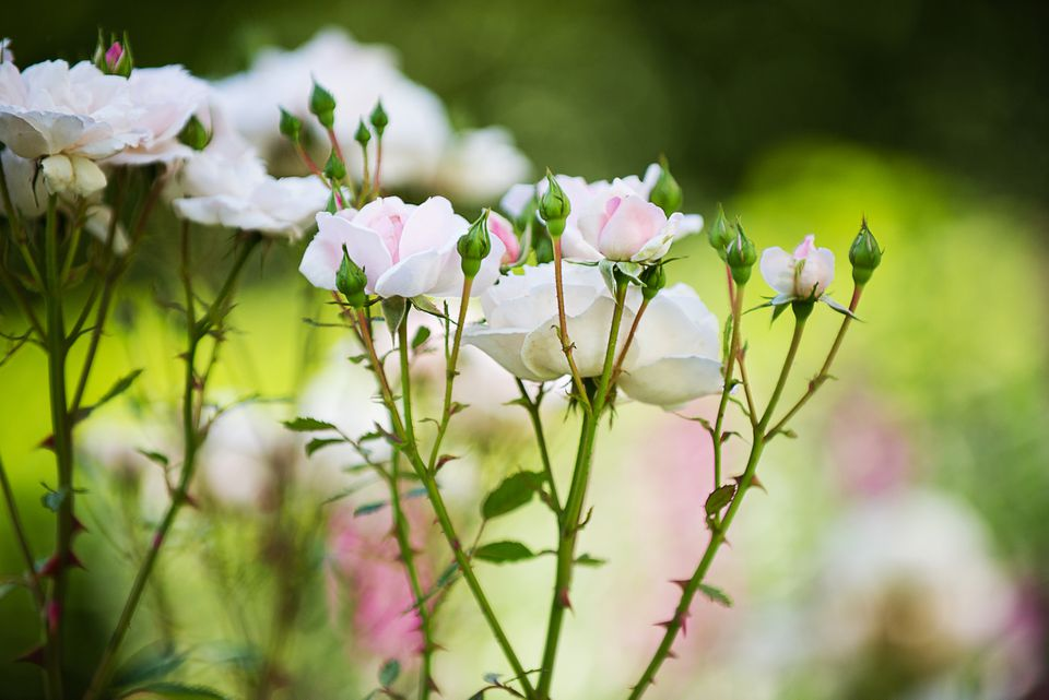 Healthy pink roses