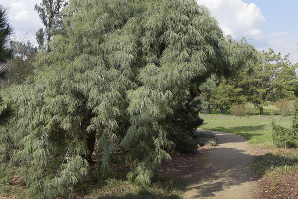 Weeping white pine tree next to dirt path