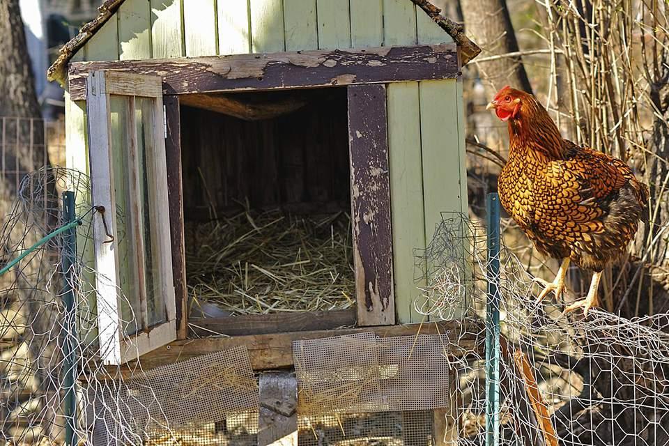 Hen and chicken coop