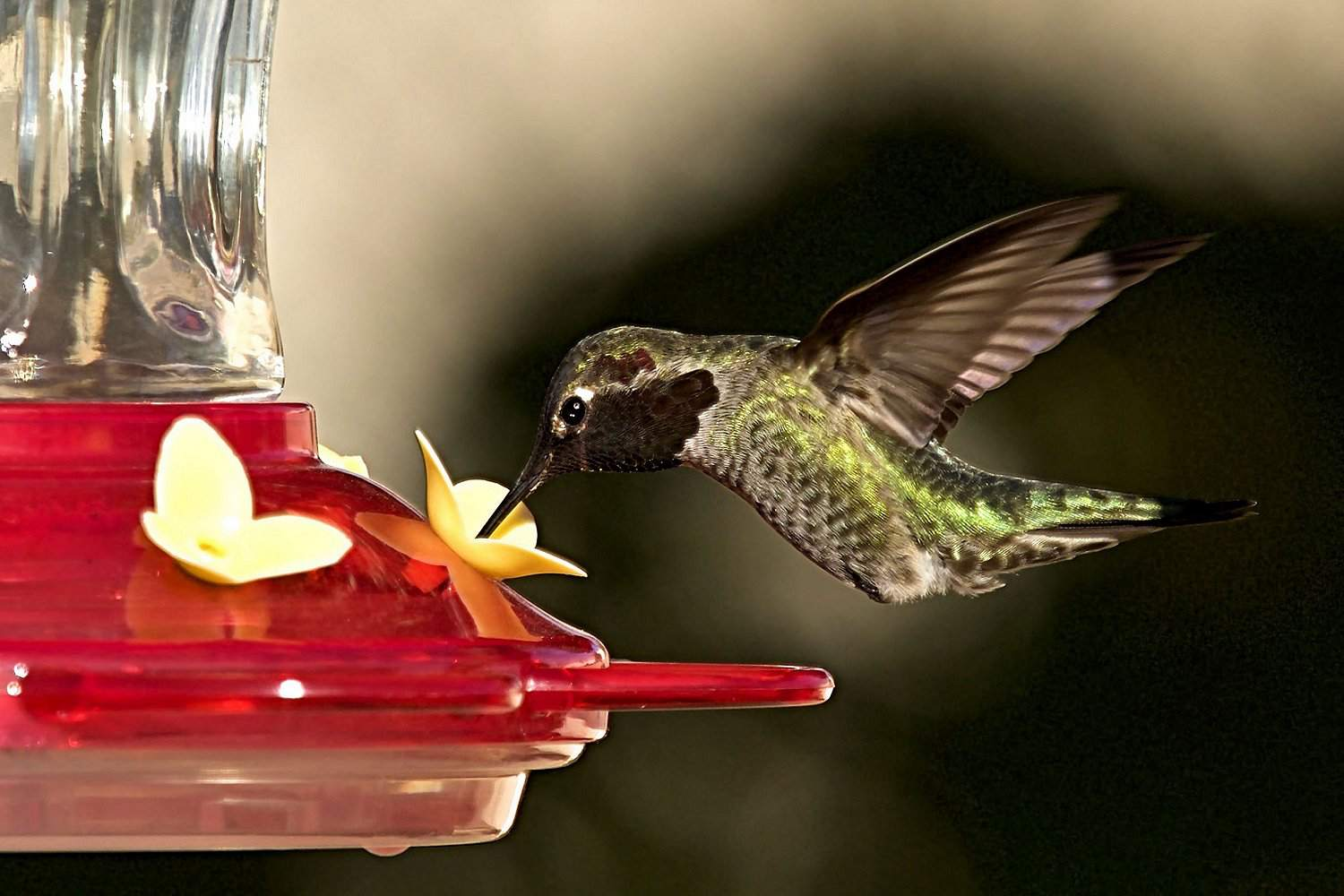 Broad-Tailed Hummingbird Sipping Nectar
