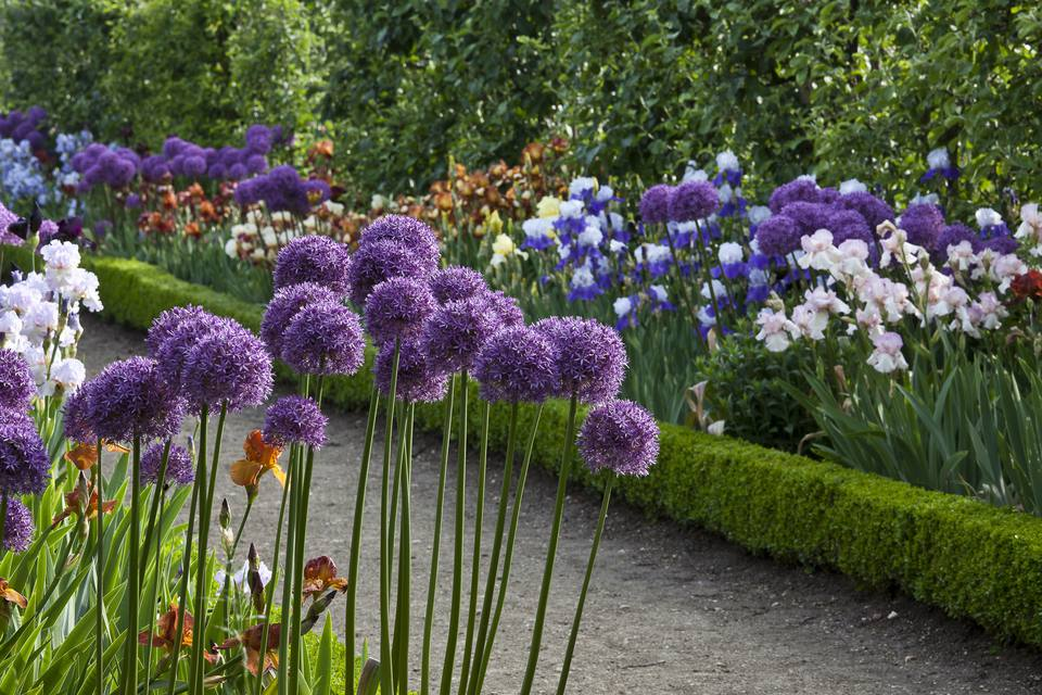 Alliums and Iris