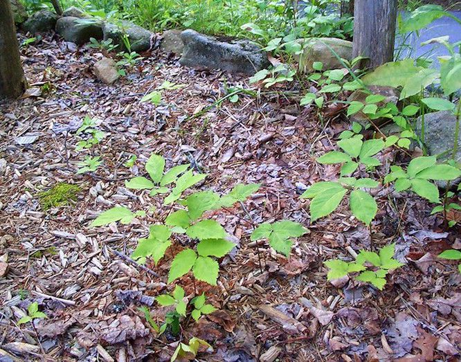 Ginseng plants in the wild along a rock wall in woodland setting