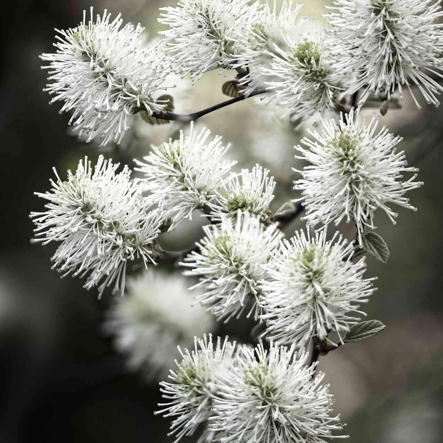 dwarf fothergilla flowers