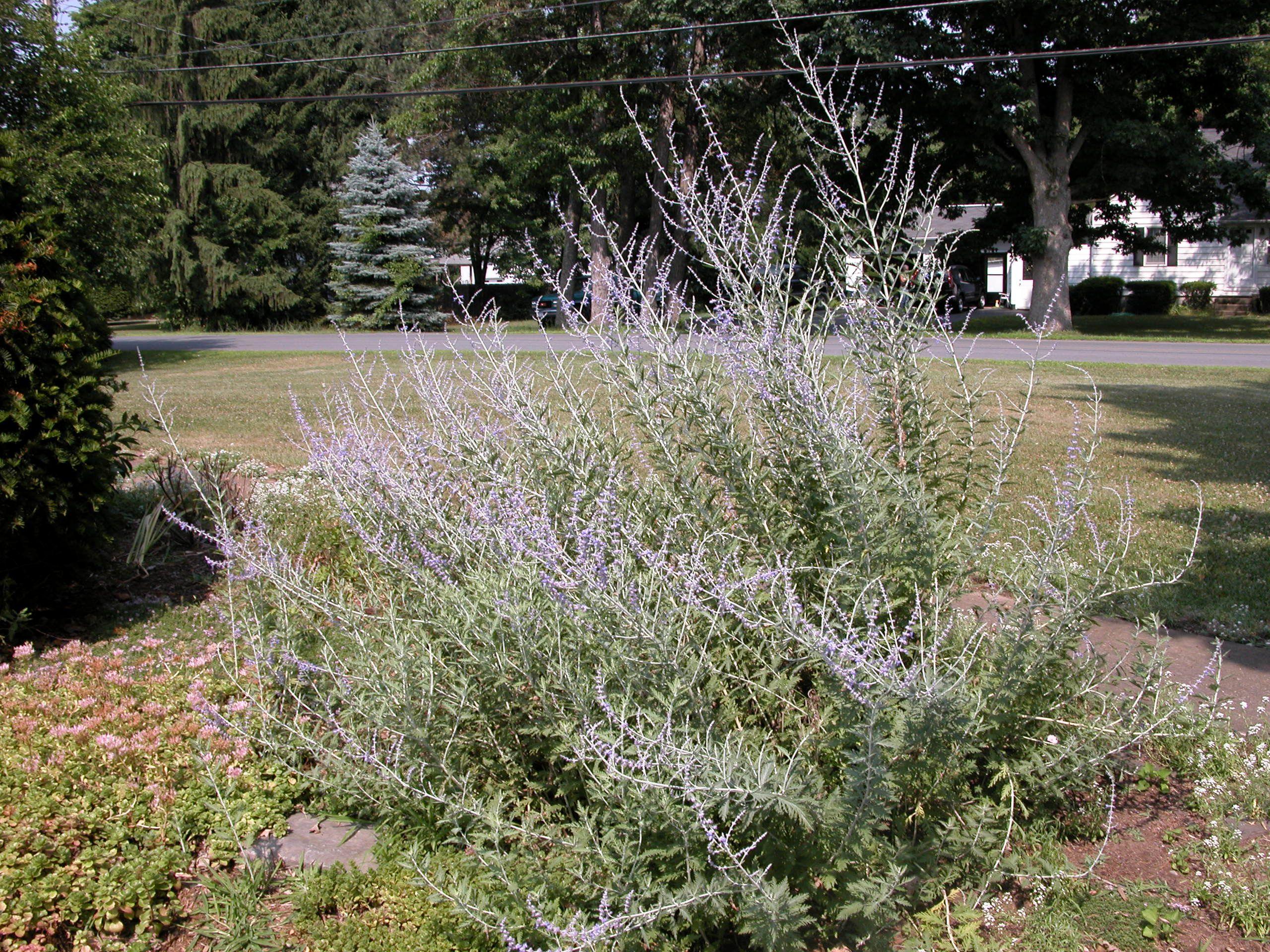 Growing Russian Sage (Perovskia)