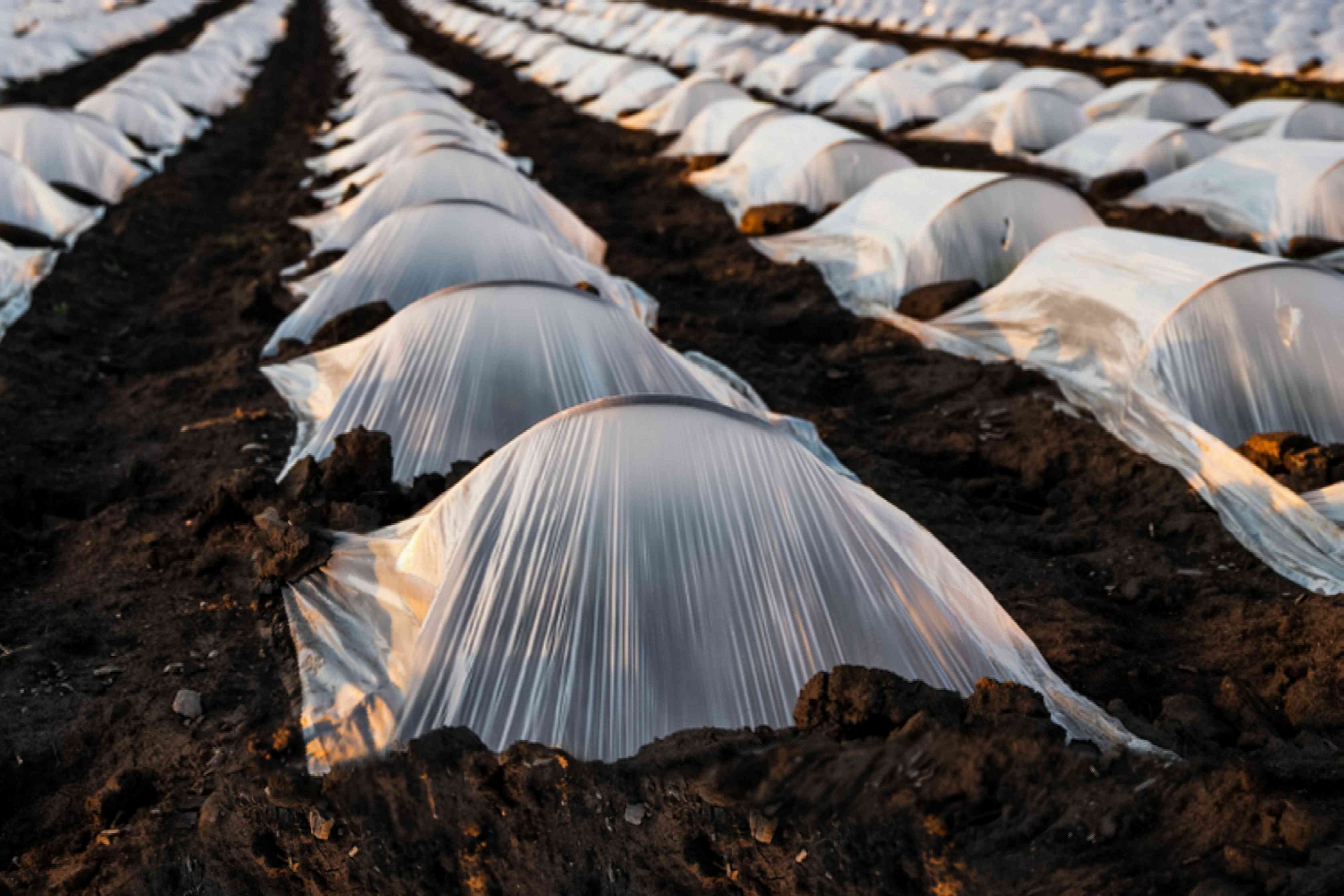 row covers on strawberry plants