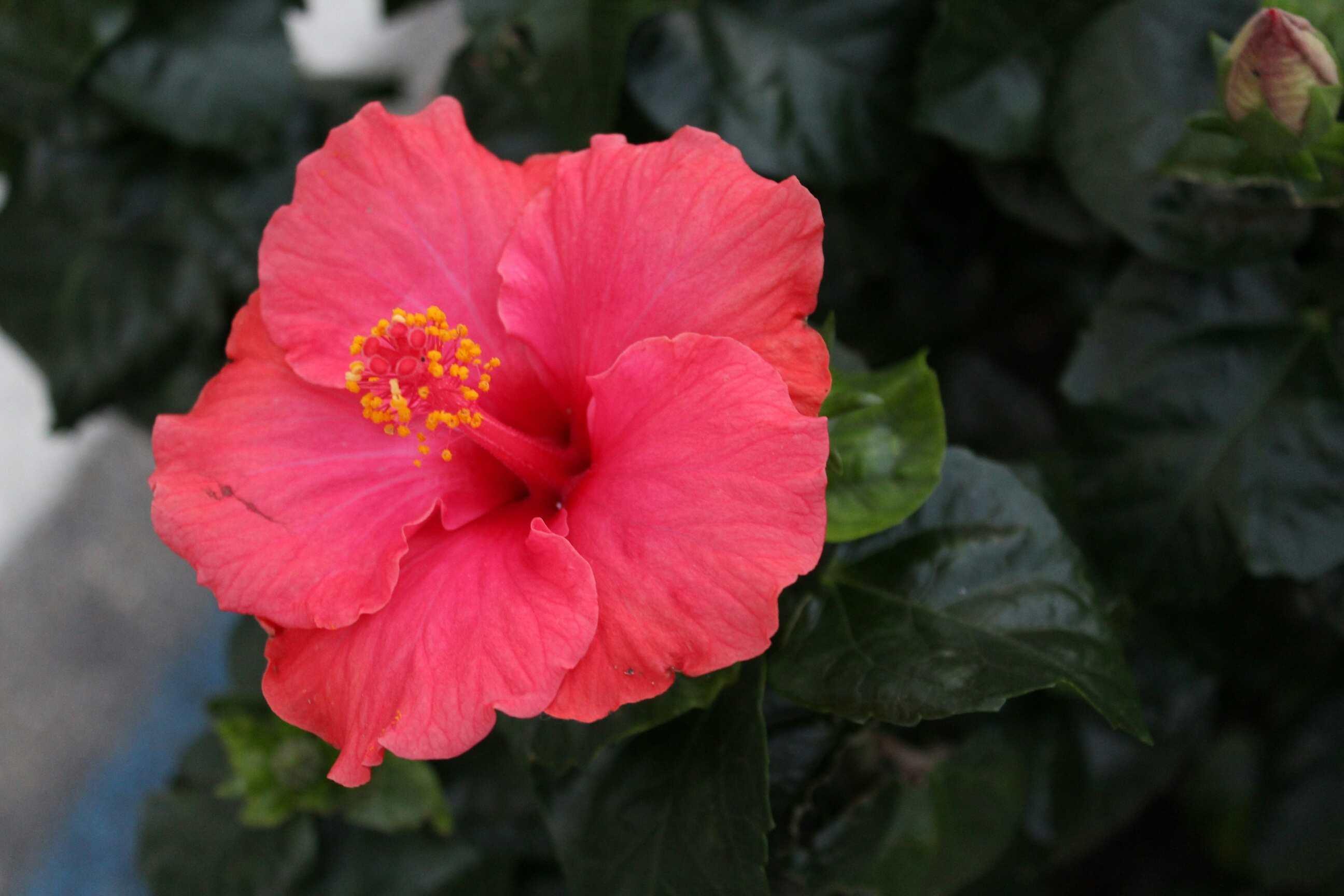 Vista de alto ángulo del hibisco que florece en el jardín