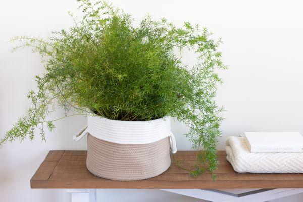 an asparagus fern in a basket