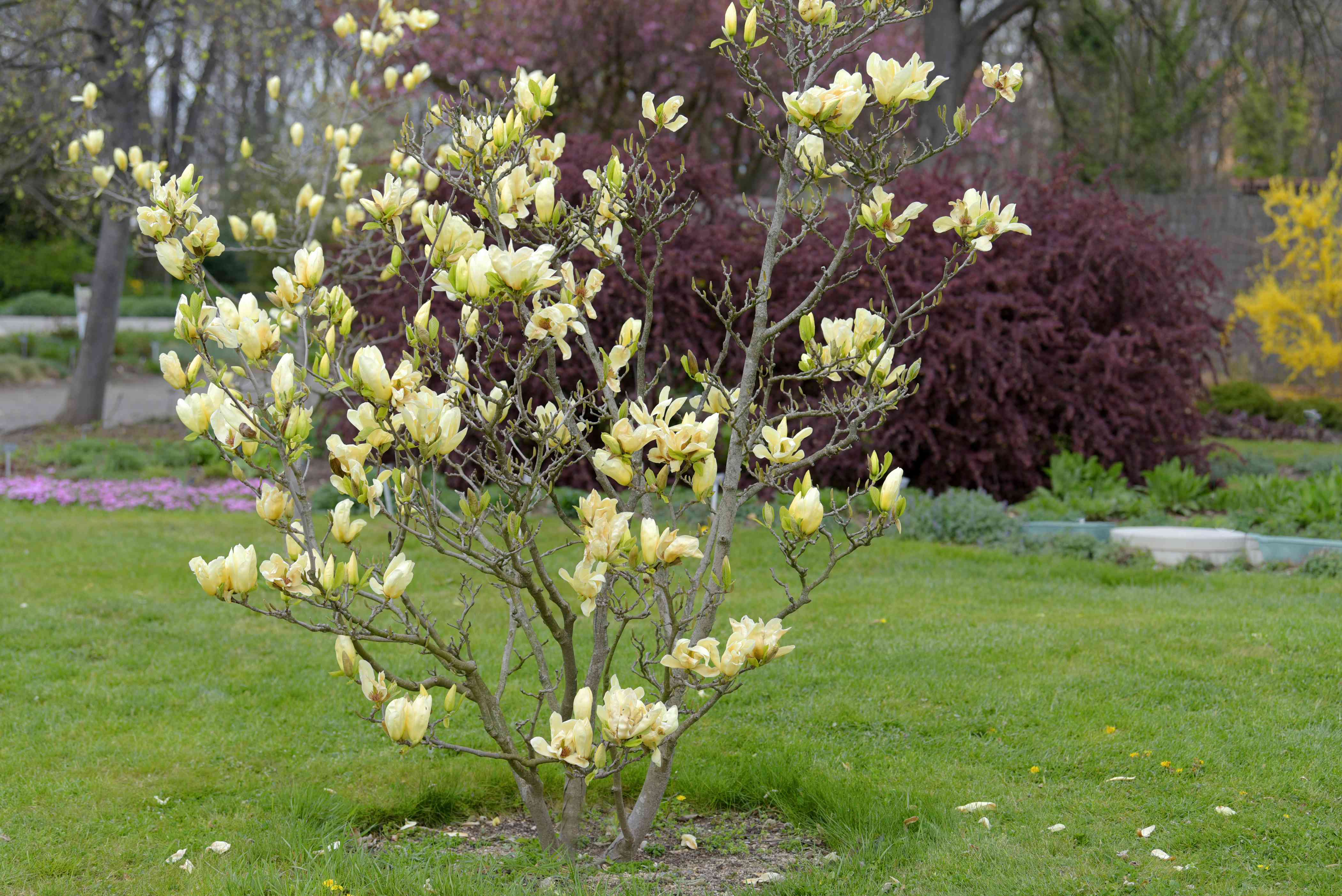 Cucumber tree with bare branches and large yellow-green flowers in garden
