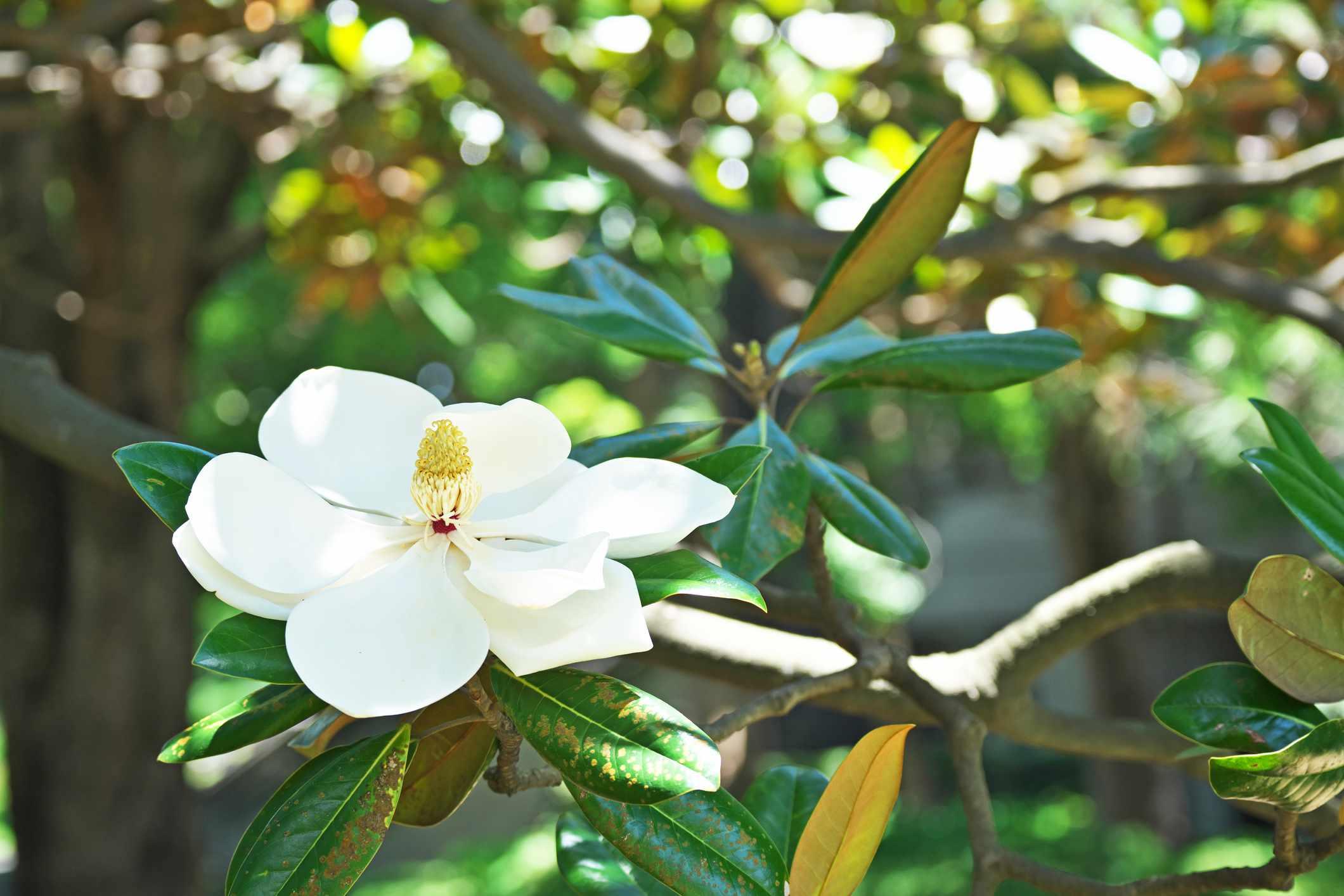 Flwer of the Magnolia grandiflora
