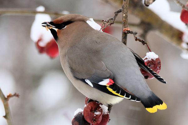 Bohemian Waxwing Eating Fruit in Winter
