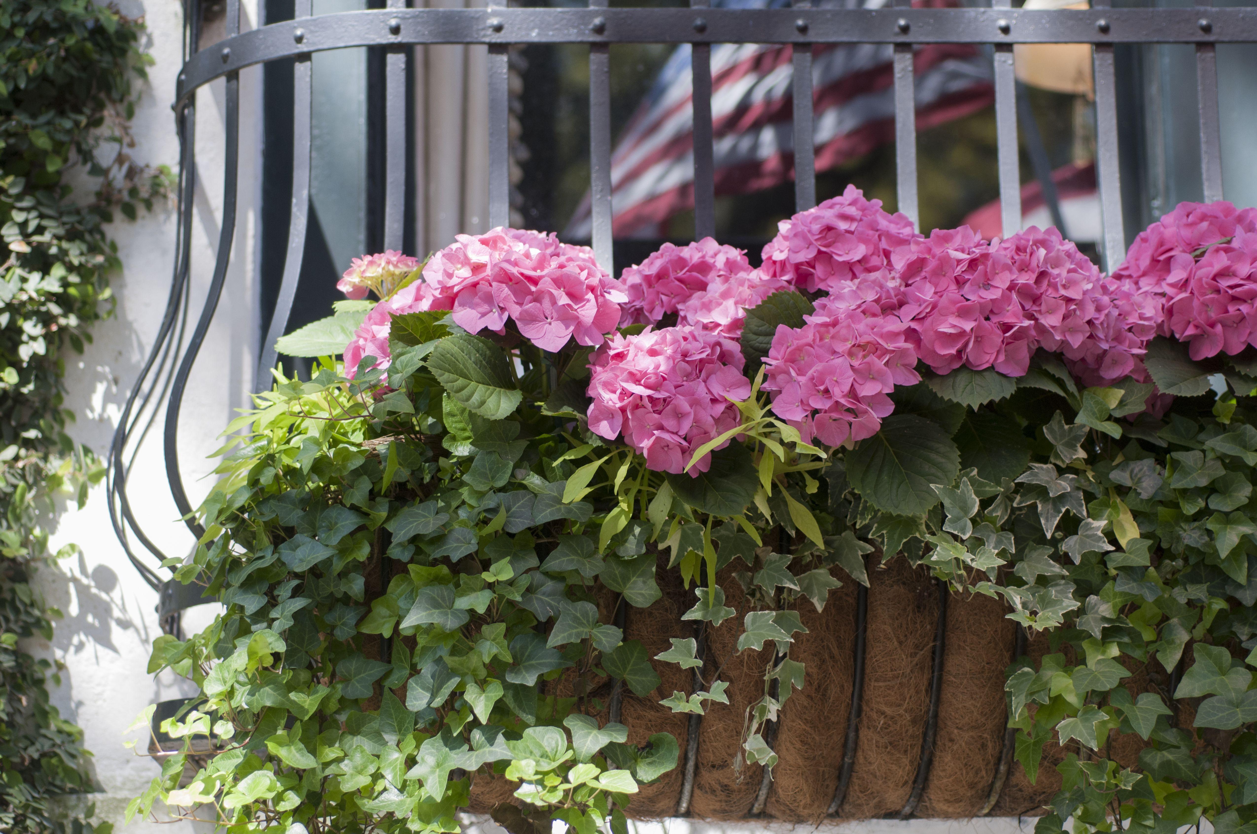 Pink hydrangeas in a window box