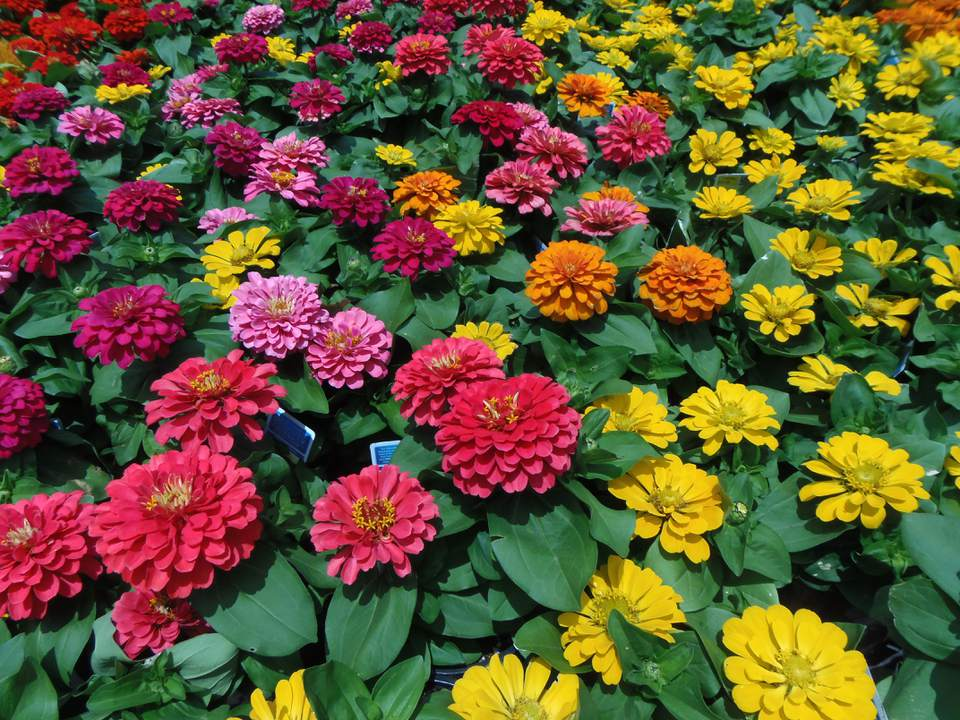 various colors of zinnias