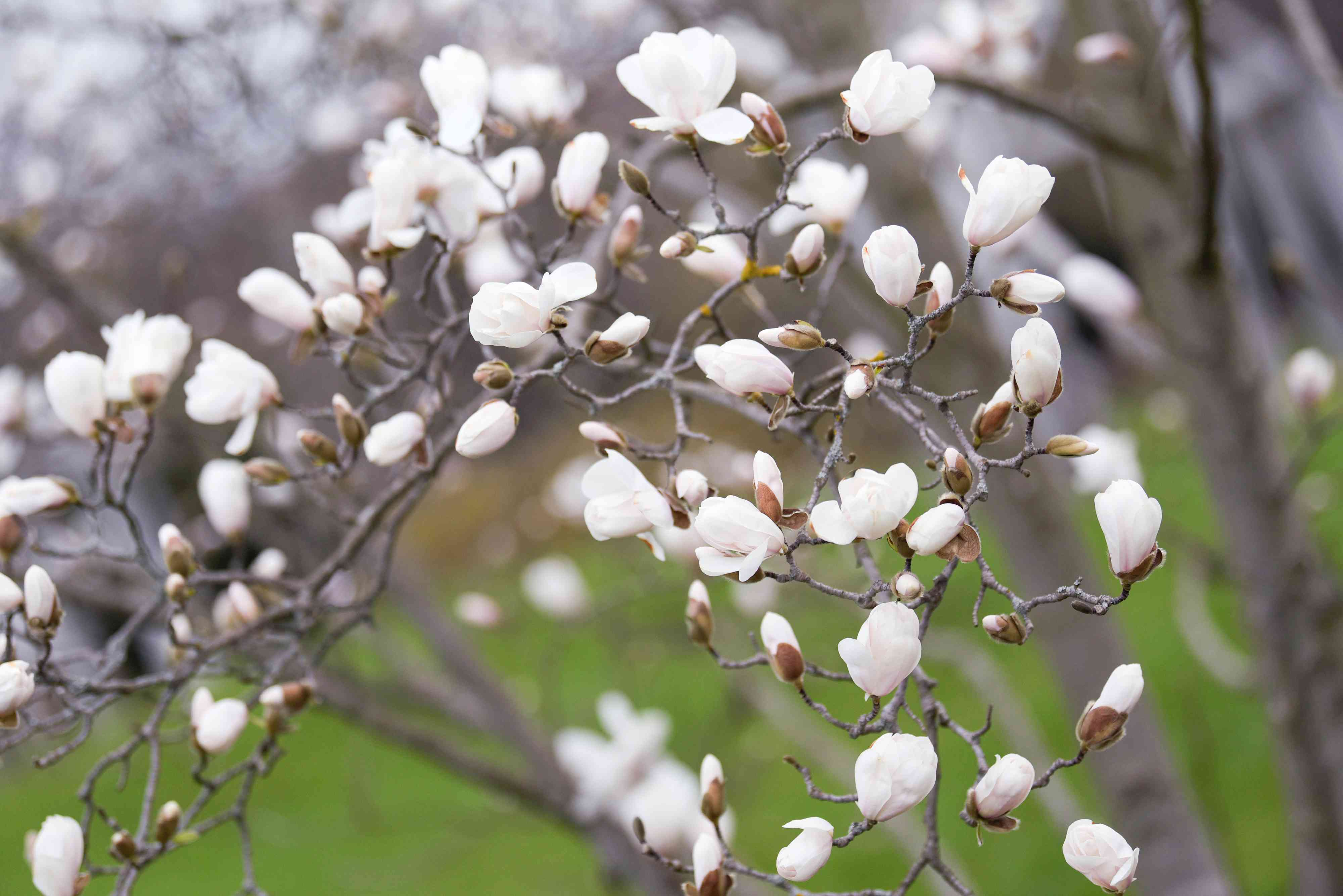 Kobus magnolia tree branch extending forward and curled with white buds and flowers