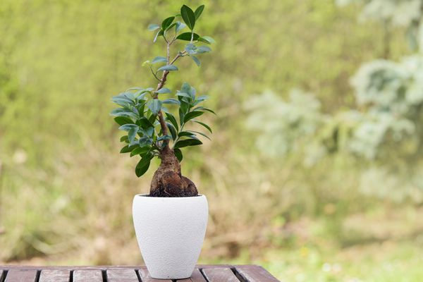 Ginseng ficus bonsai plant in white cone-shaped pot
