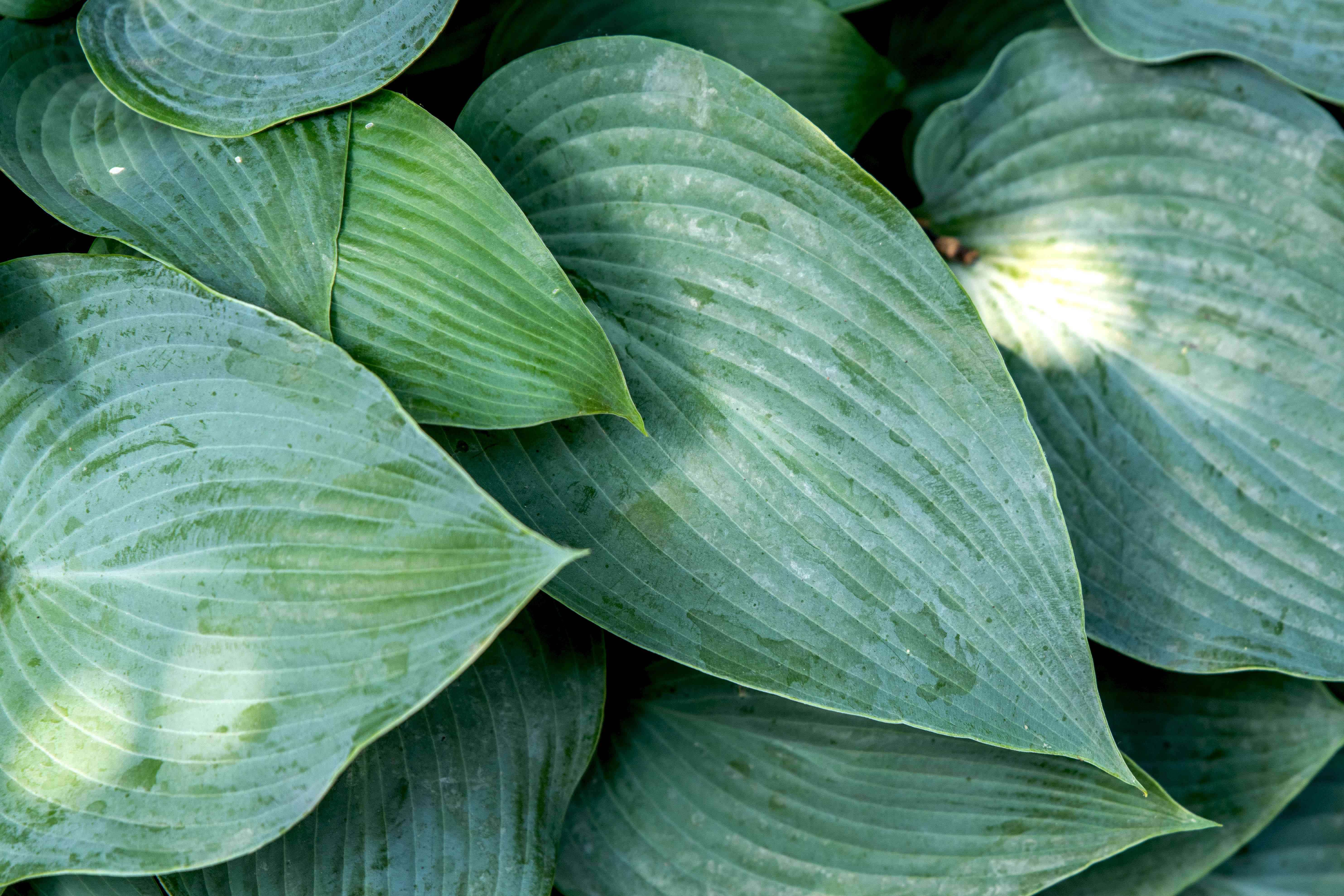 Hosta 'Halcyon' plant with blue-green textured leaves closeup