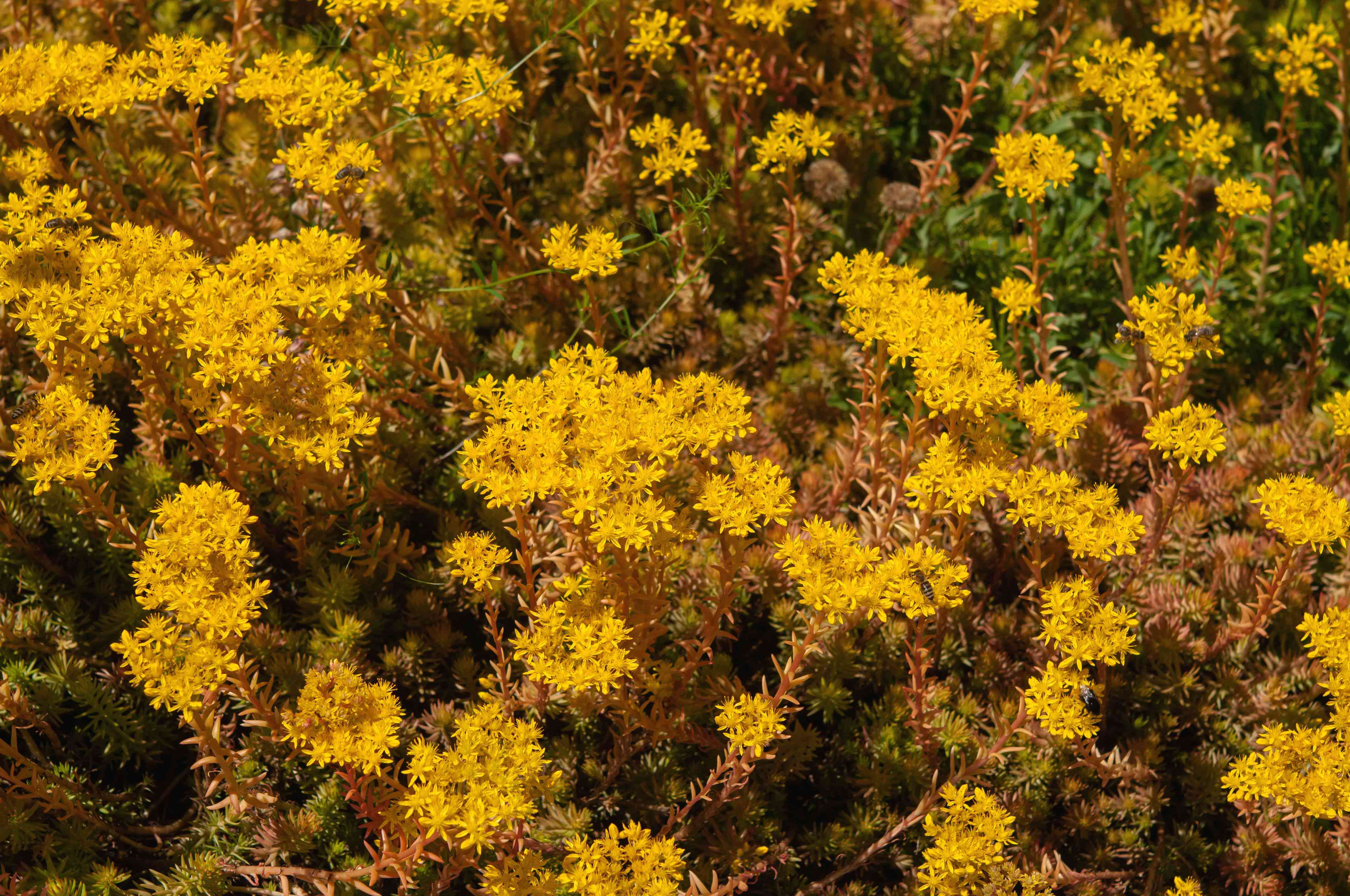 Angelina stonecrop with small, star-shaped yellow blooms on born spiked stems