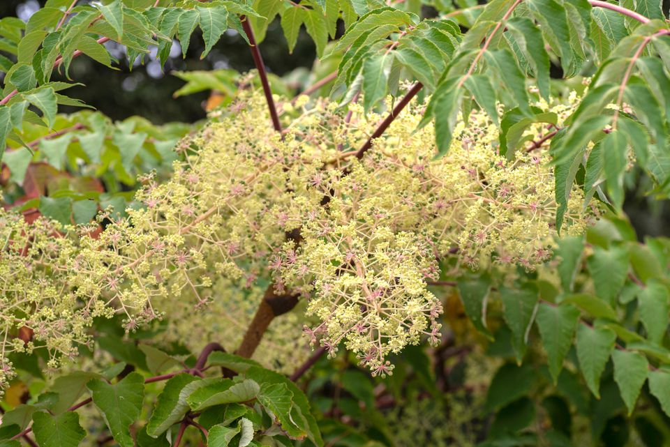 Japanese angelica tree with green leaves surrounding yellow clustered blossoms