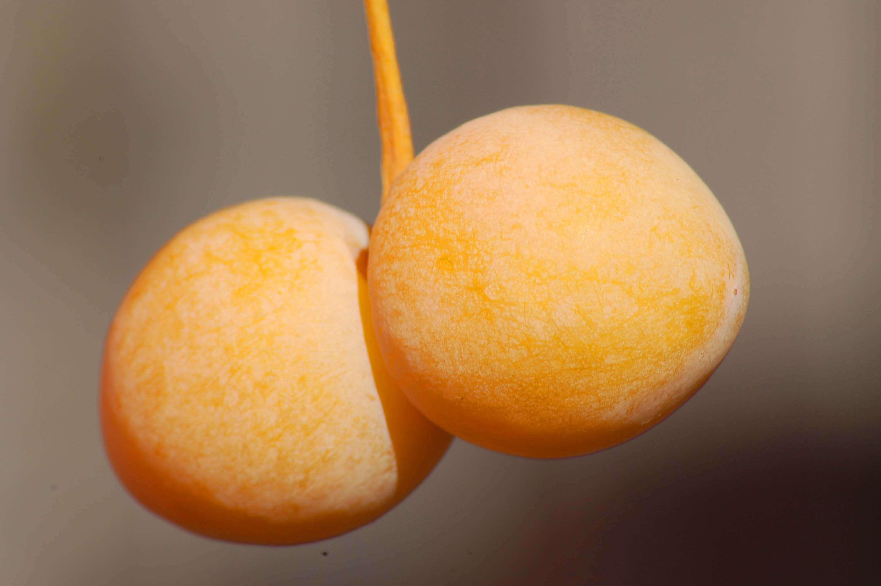 Fruto de ginkgo biloba