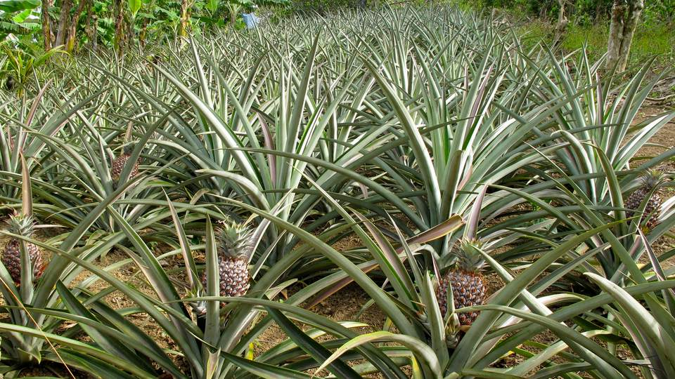 growing pineapple plants at home. Black Bedroom Furniture Sets. Home Design Ideas