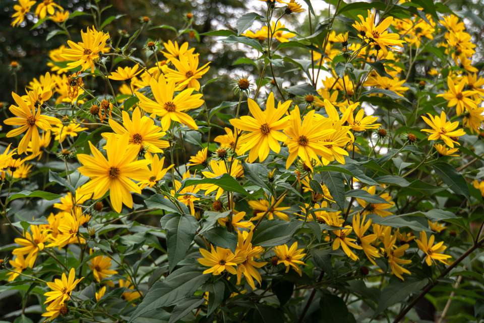 Sawtooth sunflowers with bright yellow ray florets and disk florets on tall stems with dark green leaves