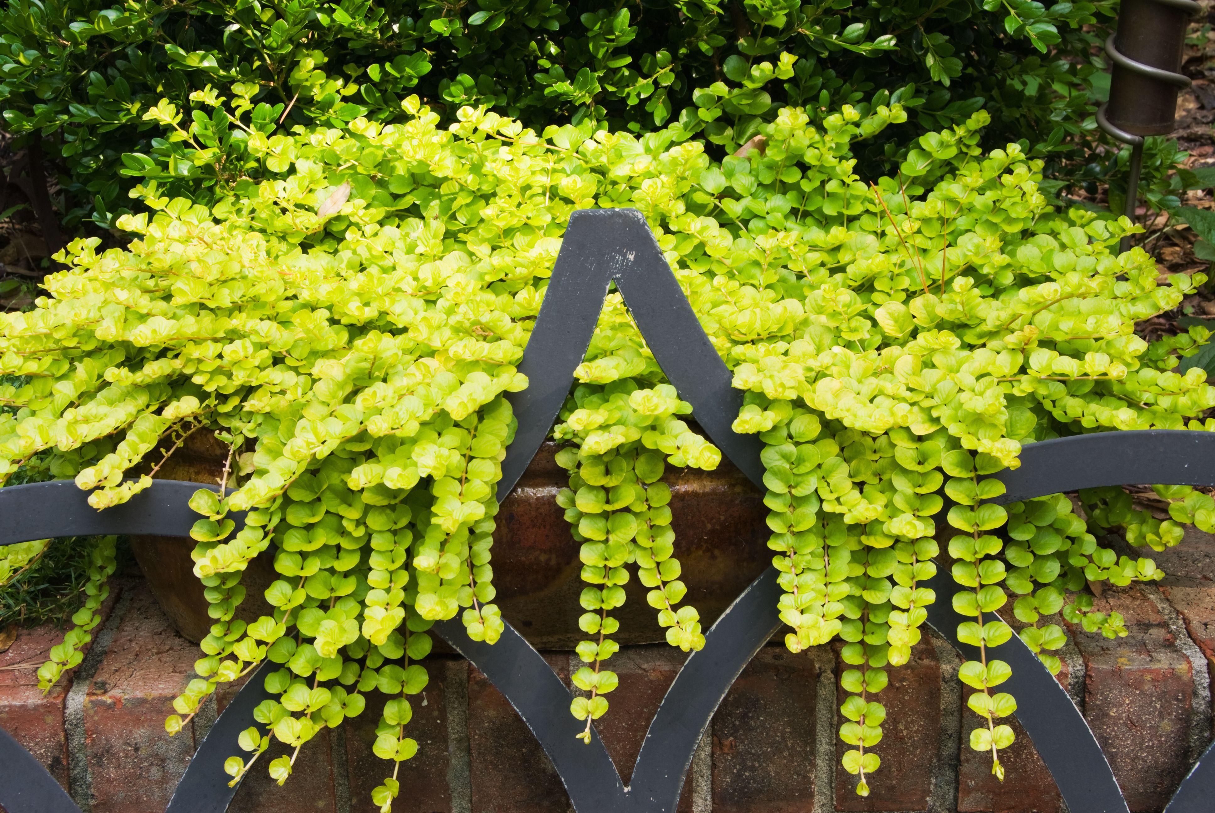Creeping Jenny Lysimachia Aura Trailing Plant