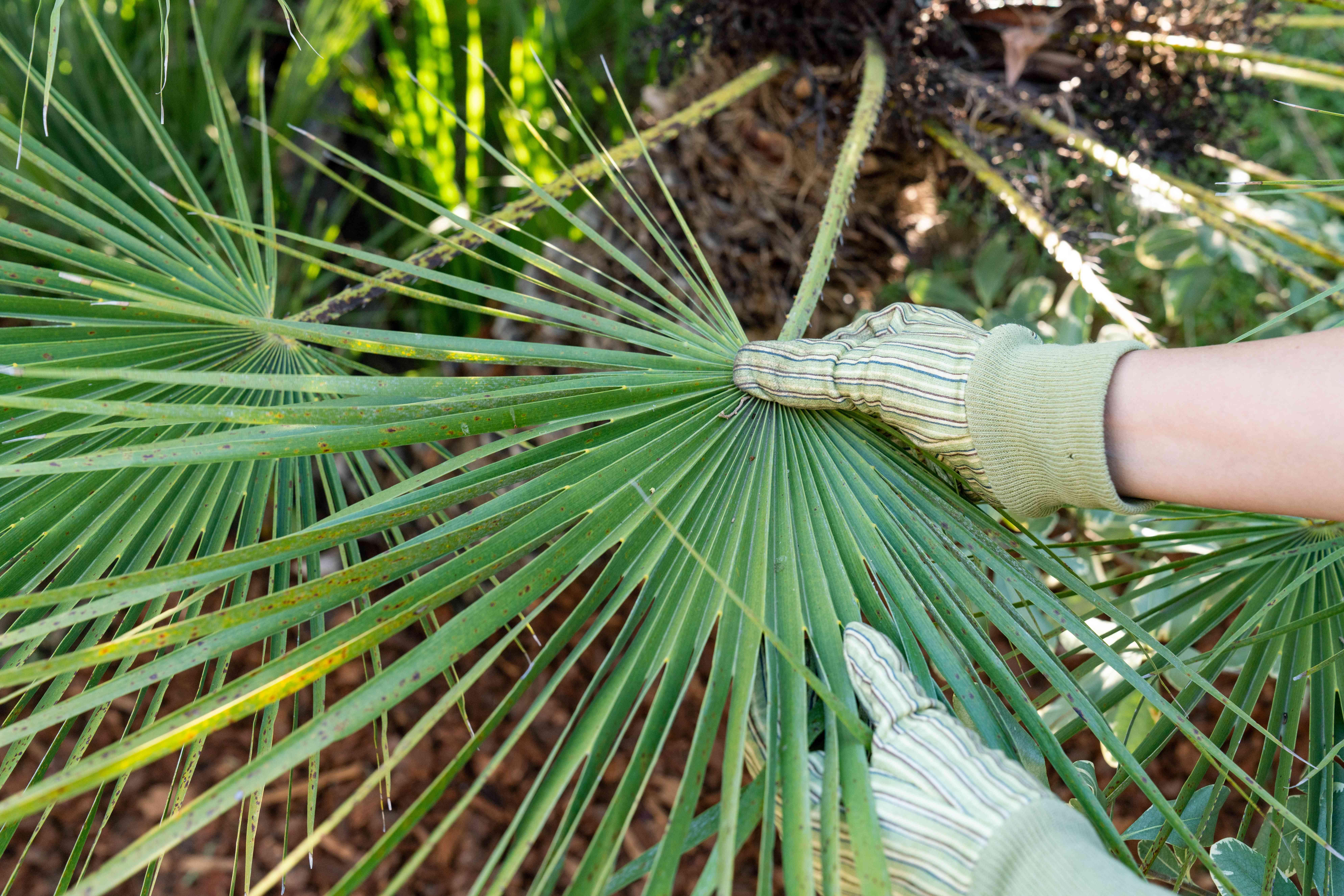 European fan palm frond