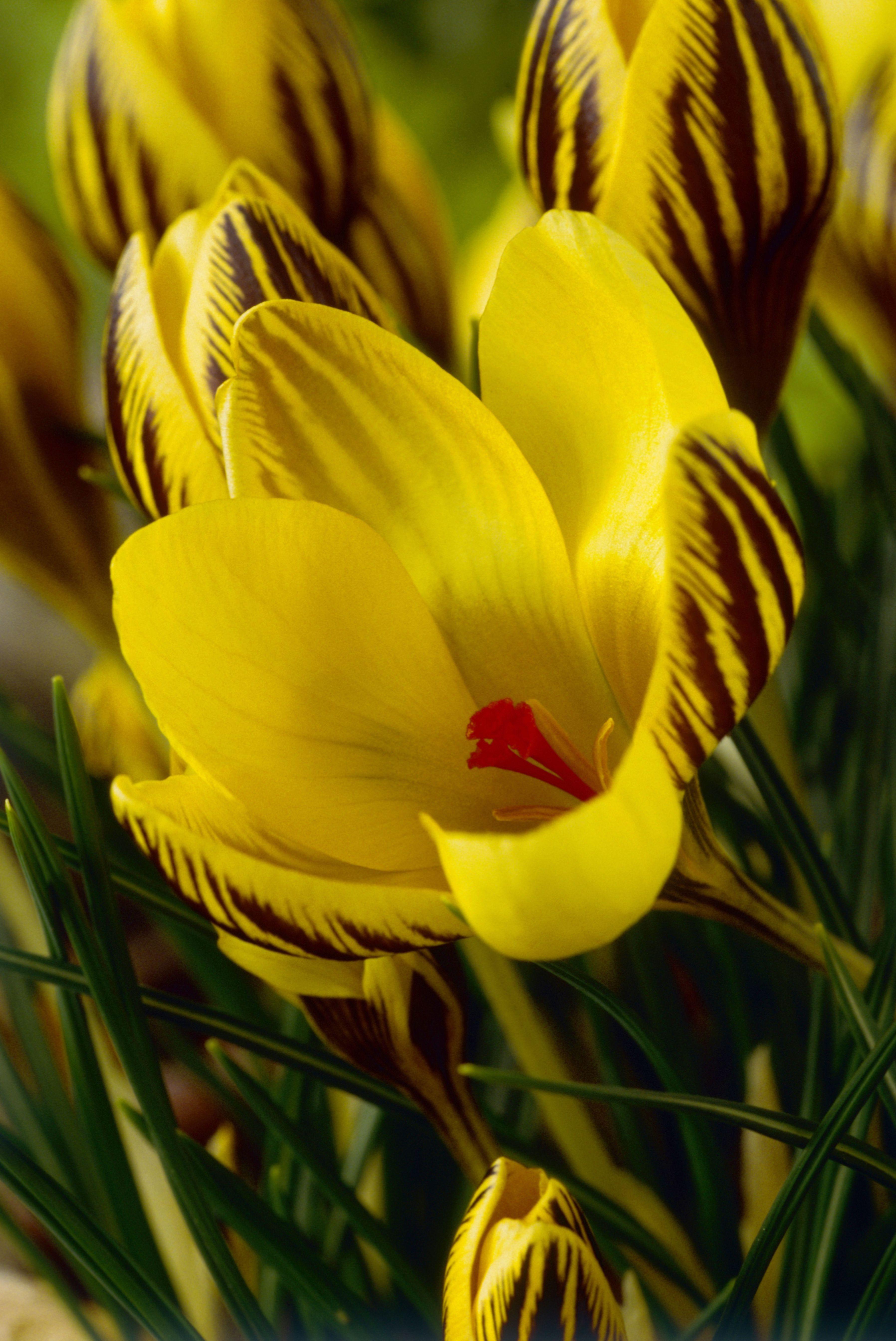 14 Beautiful Crocus Varieties To Plant