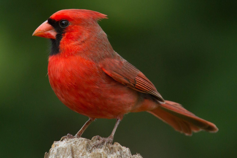 Northern Cardinal, state bird of Kentucky, on a wooden stump.