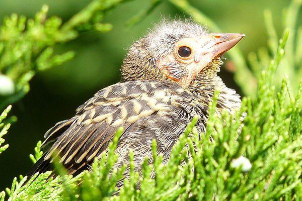 Baby bird sitting in an evergreen tree.