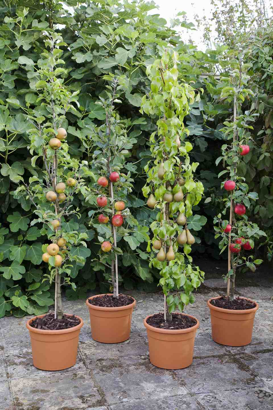 Plastic pots containing mixed apple and pear cordons, September