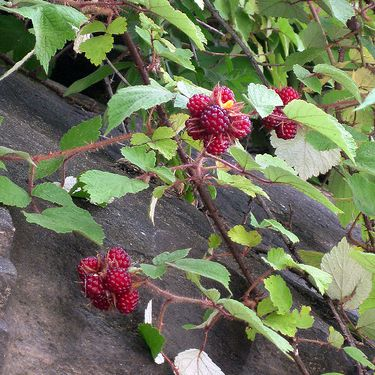 Picture of Wineberry