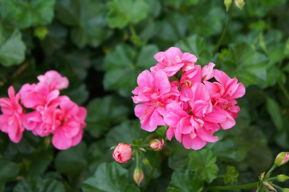 Pelargonium zonale pink flowers with green