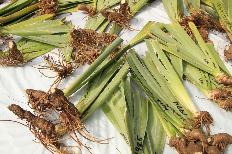 Iris rhizomes