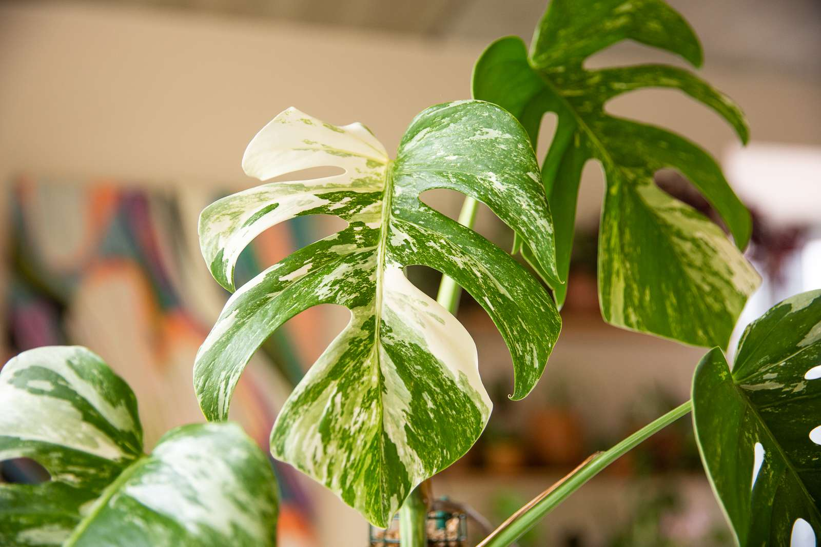 White and green variegated monstera with large swiss-cheese shaped leaves