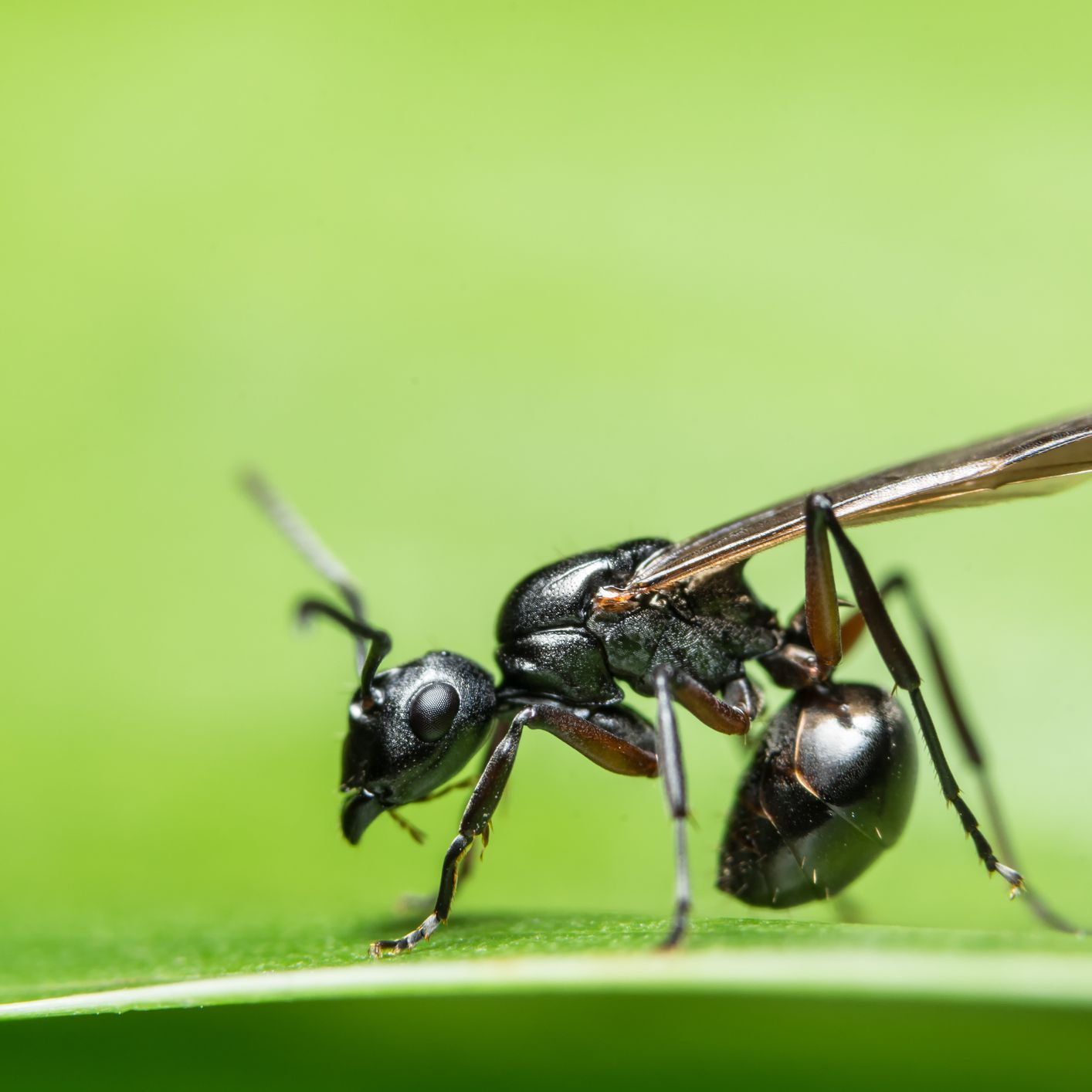 Why Do Ants Sometimes Have Wings