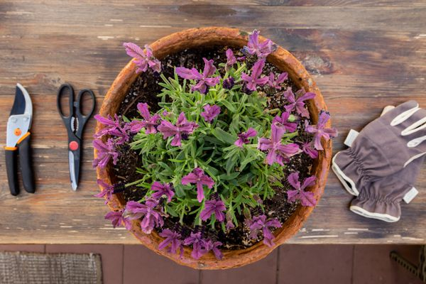Ornamental herb with dark pink flowers next to gloves, pruning sheers and outside scissors