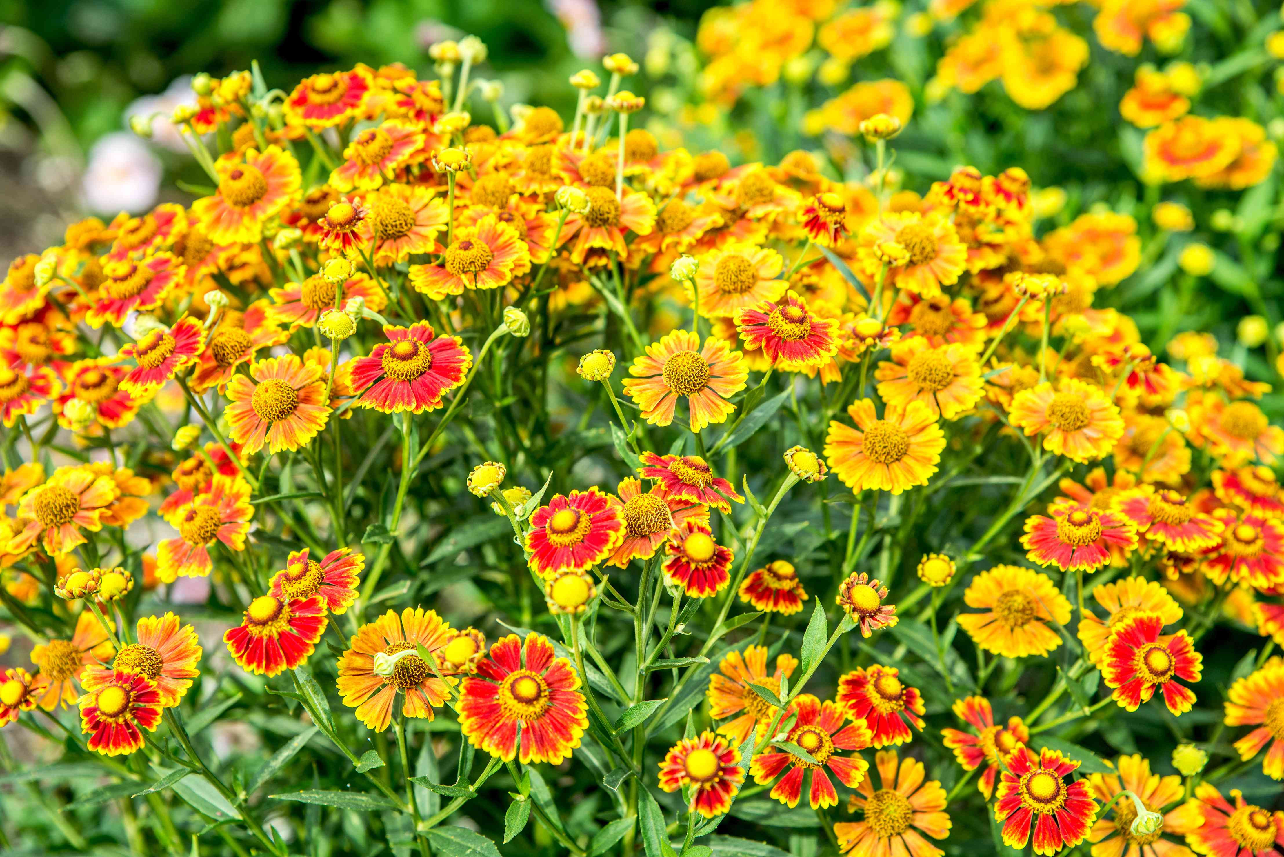 sneezeweed used in a landscape