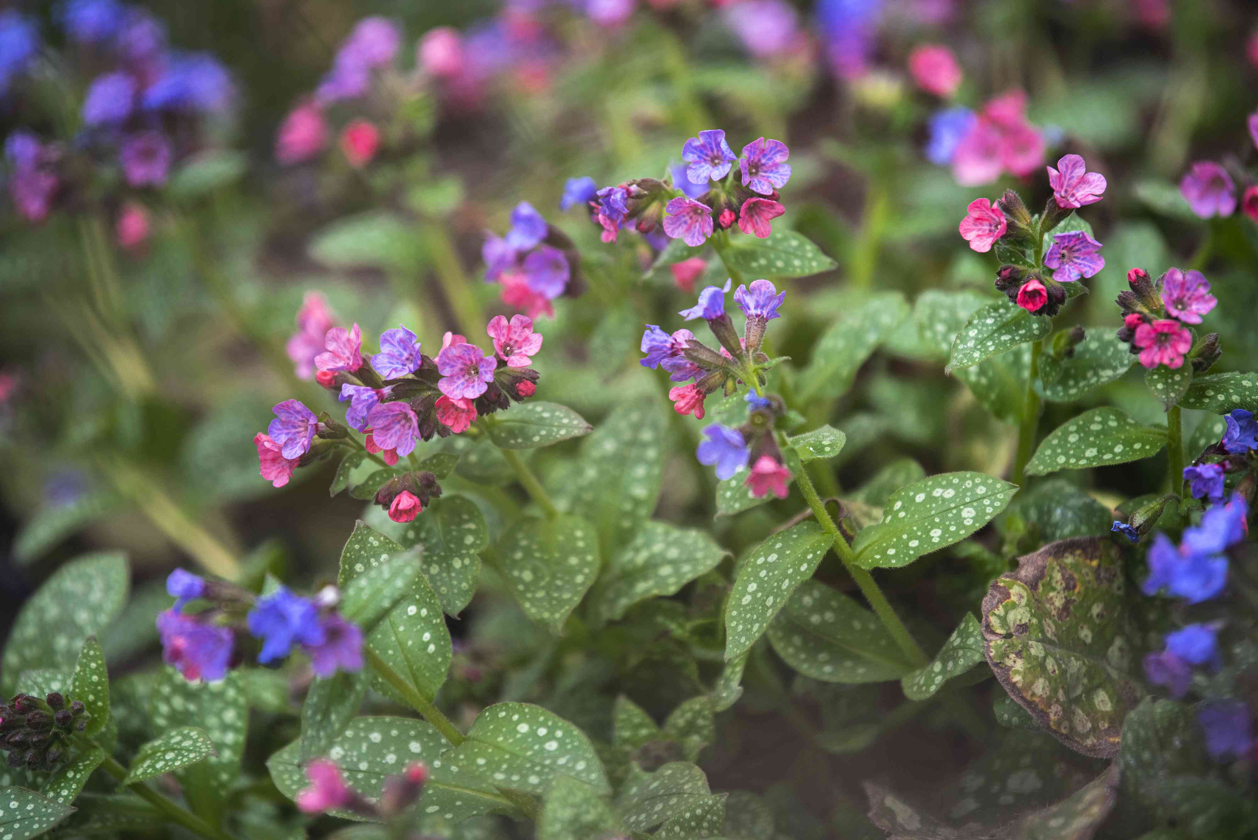 Lungwort perennial plant with spotted leaves and small pink and purple flowers