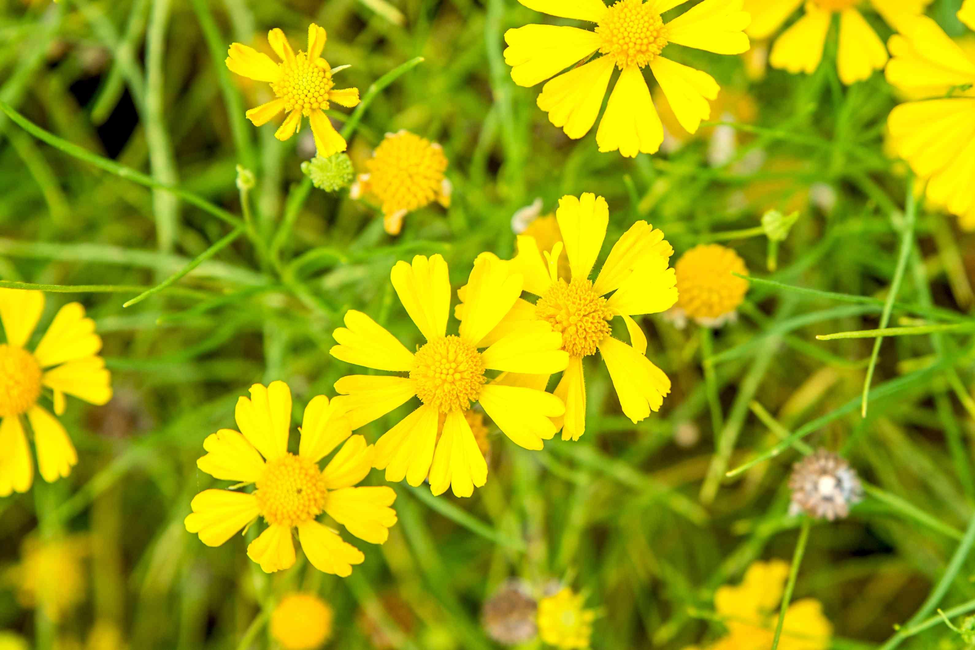 all-yellow helenium