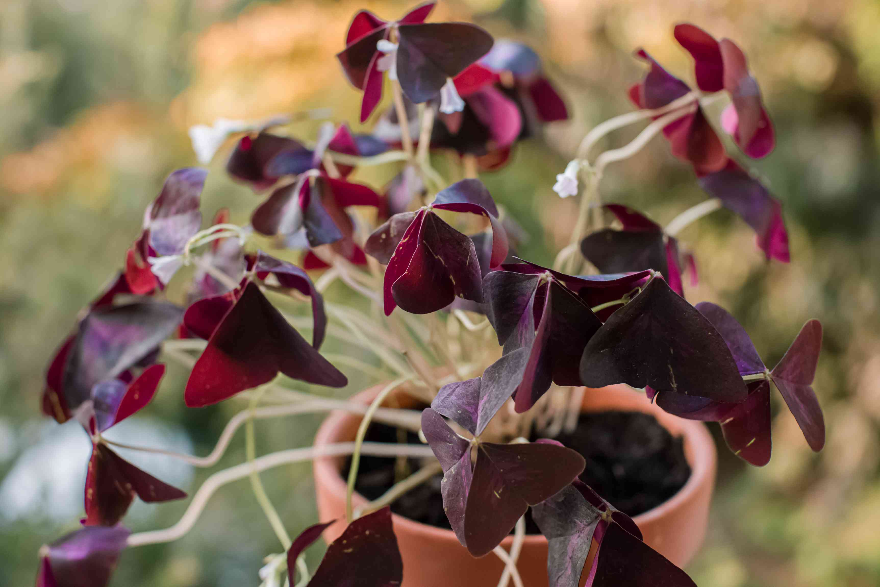 purple shamrock being grown in a container