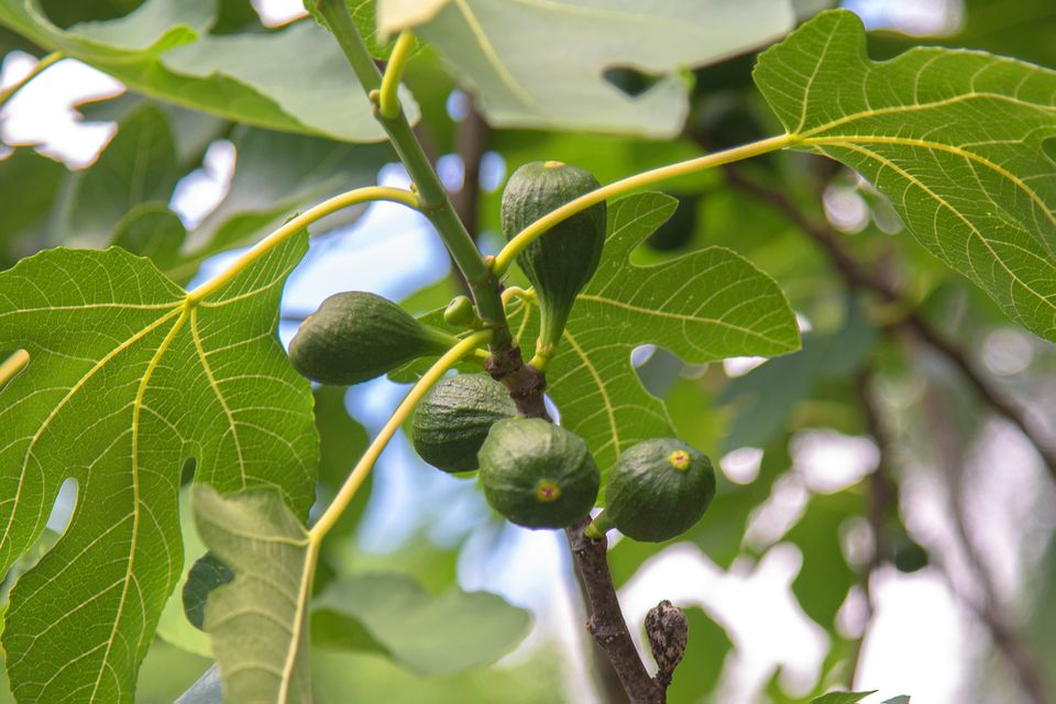 Organic figs growing on tree near large lobed leaves